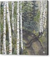 Birch Trees Along Kennys Road  2 Acrylic Print
