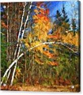 Birch Trees - Autumn Acrylic Print
