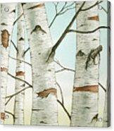 Birch Trees In Late Autumn Acrylic Print