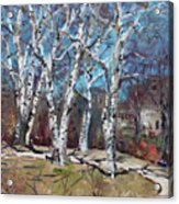 Birch Trees Next Door Acrylic Print