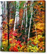 Birch Trees With Colorful Fall Foliage Acrylic Print