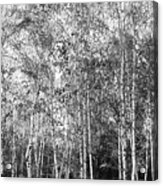 Birch Trees1 Acrylic Print