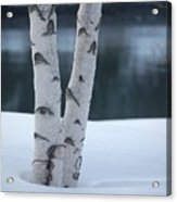Birch Twins In Snow Acrylic Print