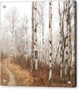 Birch Walk Acrylic Print