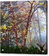Birch Weightlessness Acrylic Print
