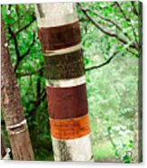 Birch Wood Tree  Acrylic Print