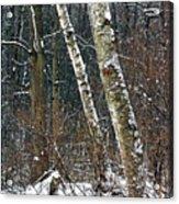 Birches During A Snowfall Acrylic Print