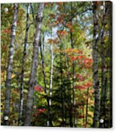 Birches In Fall Forest Acrylic Print