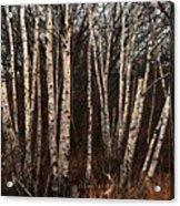 Birches In The Rain Acrylic Print