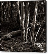 Birches In The Wood Acrylic Print
