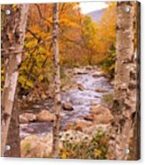 Birches On The Kancamagus Highway Acrylic Print