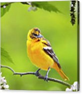Bird And Blooms - Baltimore Oriole Acrylic Print