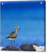 Bird In Blue Acrylic Print
