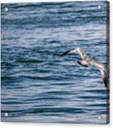 Bird In Flight Over Water Acrylic Print