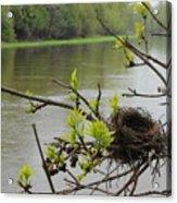 Bird Nest In Ash Tree Branches Acrylic Print