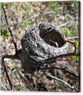Bird Nest In Wild Rose Bush Acrylic Print