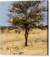 Bird Nests And A Cheetah Acrylic Print