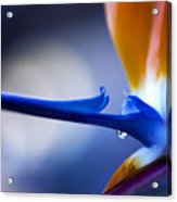 Bird Of Paradise 1 Acrylic Print