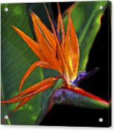 Bird Of Paradise Digital Art Acrylic Print