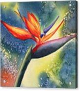 Bird Of Paradise Flower Acrylic Print