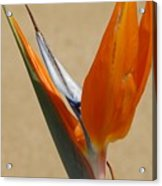 Bird Of Paradise II Acrylic Print