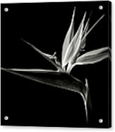 Bird Of Paradise In Black And White Acrylic Print