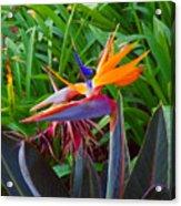Bird Of Paradise Kalon Acrylic Print