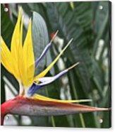 Bird Of Paradise Longwood Gardens Acrylic Print