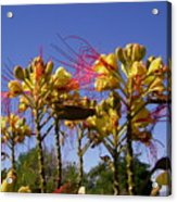 Bird Of Paradise Shrub Acrylic Print