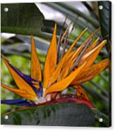 Bird Of Paradise Work Number Three Acrylic Print