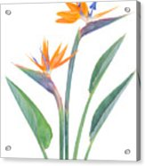 Bird Of Paradize Flowers Acrylic Print