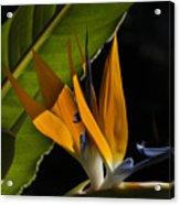 Bird Of Paridise2 Acrylic Print