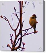 Bird On A Bud Acrylic Print