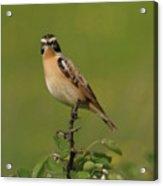 Bird On A Bush  Acrylic Print