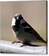 Bird On A Fence Acrylic Print
