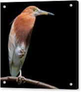 Bird On Black Acrylic Print