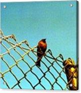 Bird On Fence Acrylic Print