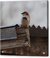 Bird On Roof Acrylic Print