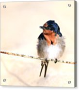 Bird On Wire Acrylic Print