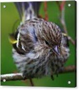 Bird Perch Acrylic Print