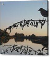 Bird Song At Last Light Acrylic Print by Dave Gordon