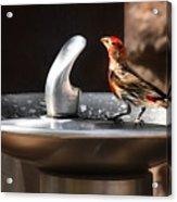 Bird Spa Acrylic Print by Christine Till