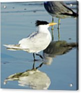 Bird - Tern - Reflection Acrylic Print