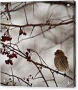 Bird With Berry Acrylic Print
