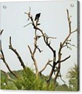 Bird011 Acrylic Print