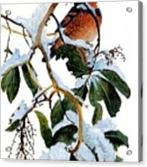 Birds 05 Varied Thrush On Arbutus Robert Bateman Sqs Robert Bateman Acrylic Print