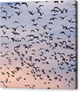 Birds A Flock Of Seagulls Acrylic Print