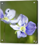 Birds Eye Speedwell Acrylic Print
