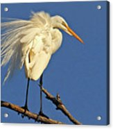 Birds - Great Egret Acrylic Print