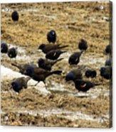 Birds In The Mud Acrylic Print